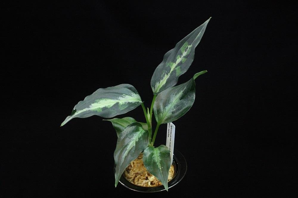 アグラオネマ ピクタム トリカラータイプエウレカ[AZ Aglaonema pictum tricolor type Eureka]