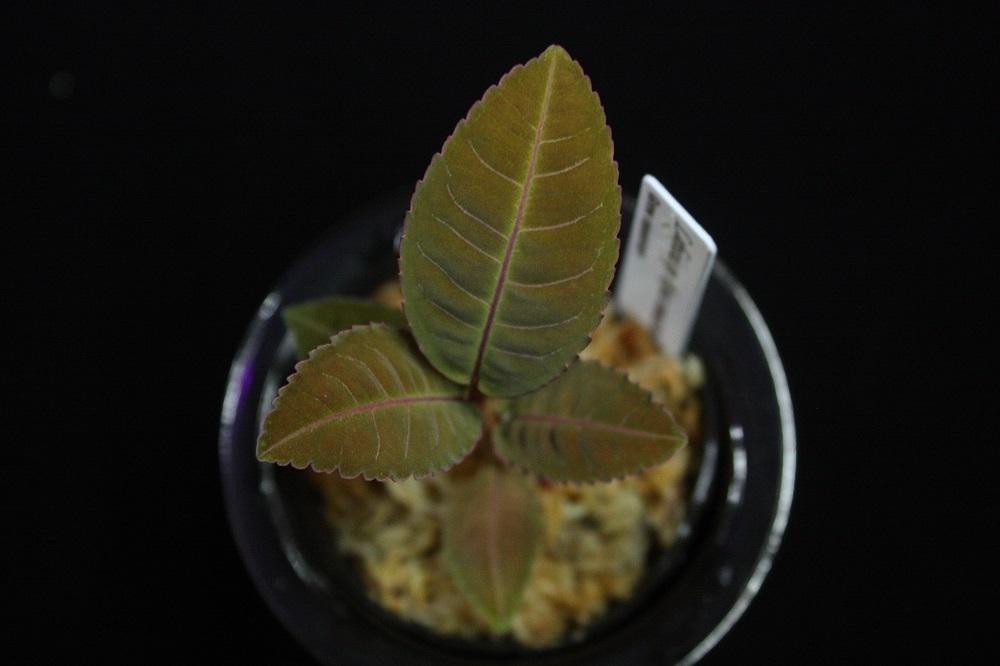 ラビシアsp.リアウ スマトラ[Labisia sp. Riau sumatera]001