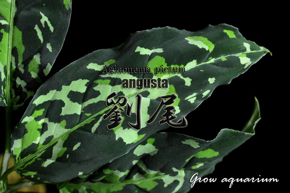 アグラオネマ ピクタム アングスタ リュウビ[Aglaonema pictum angusta 劉尾]<br />