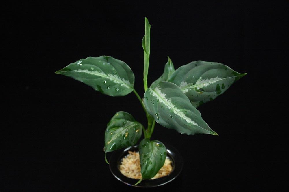 アグラオネマ ピクタム 北スマトラ[Aglaonema pictum North Sumatera]