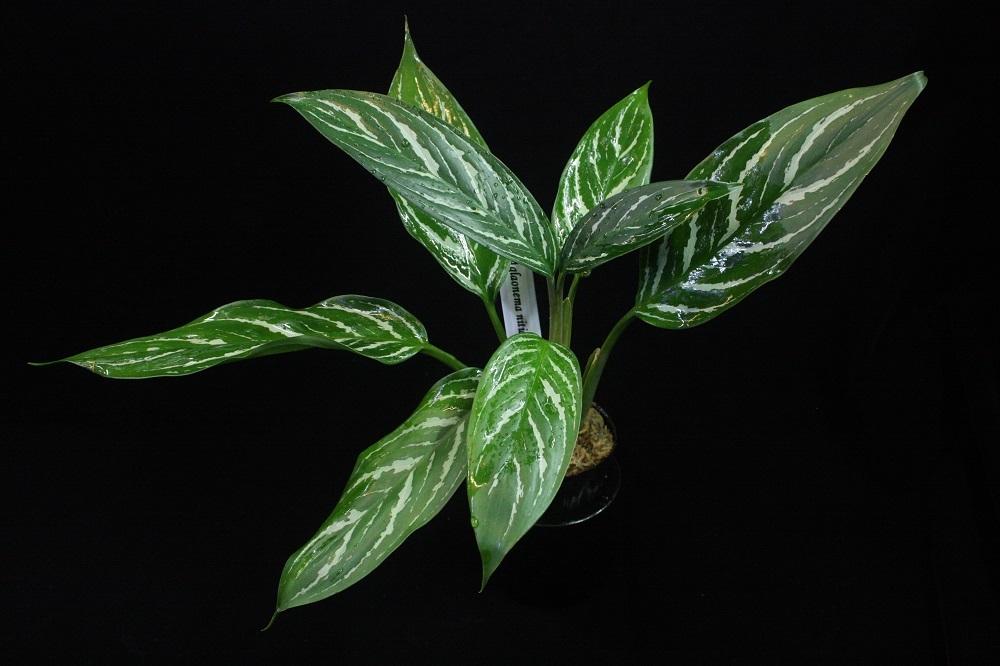 アグラオネマ ニチダム カーティシー[Aglaonema nitidum Curtisii]<br />