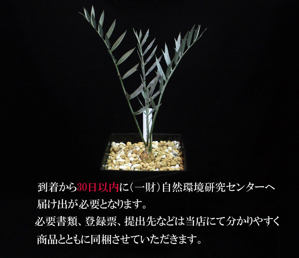 エンセファラルトス ホリダス[Encephalartos horridus]