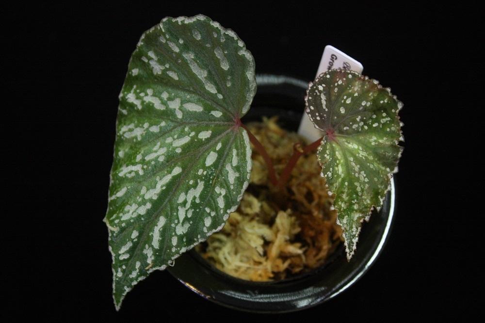 ベゴニアsp,マタン[Begonia sp. Matang] TK便