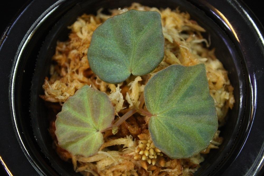 ベゴニアsp.サラワク[Begonia sp. Sarawak]<br />