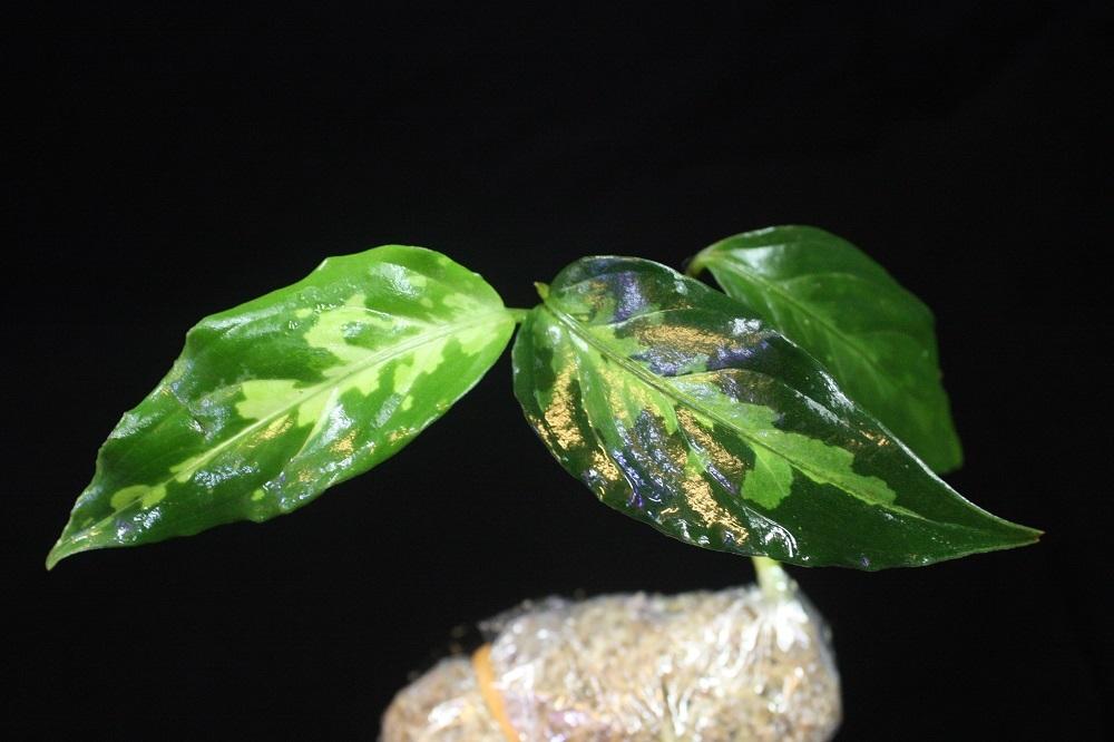 アグラオネマ ピクタム from アチェスマトラ23[Aglaonema pictum from Aceh Sumatra] TZ便