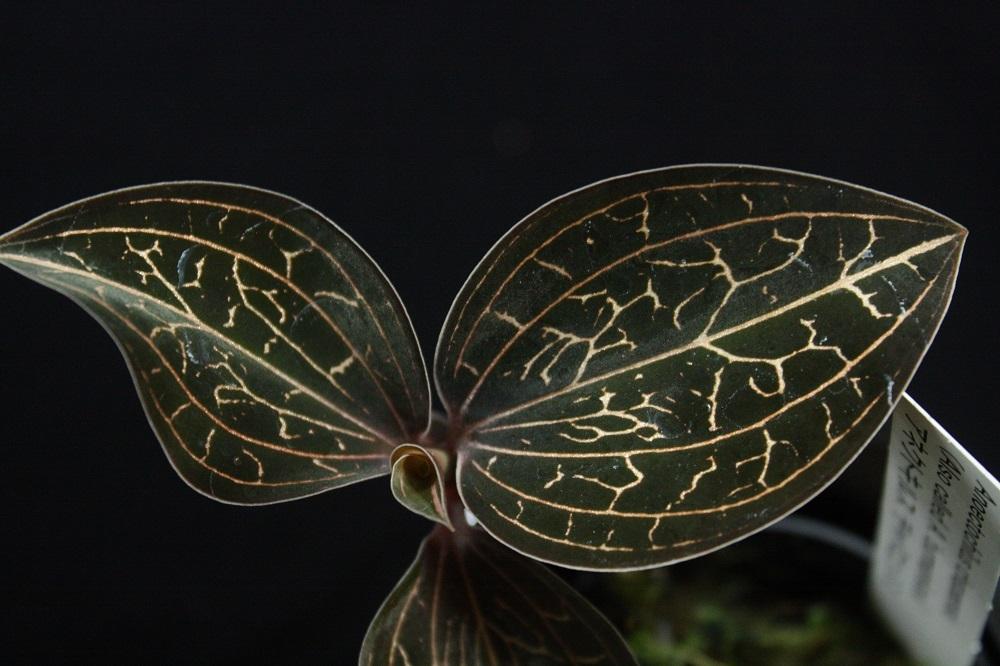 アネクトキルス チャパエンシス[Anoectochilus chapaensis](ジュエルオーキッド)