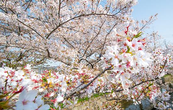 20180401ナナシお花見-11