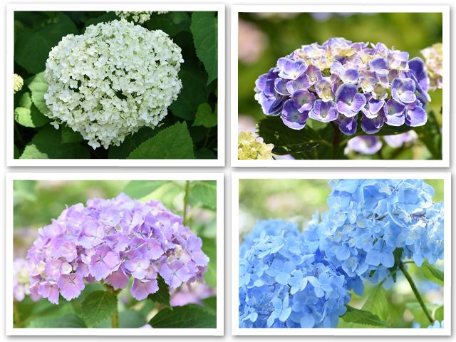 紫陽花☆相模原北公園