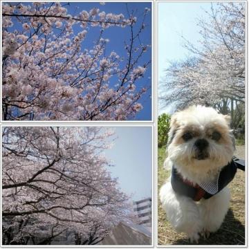 ご近所桜02-800x600