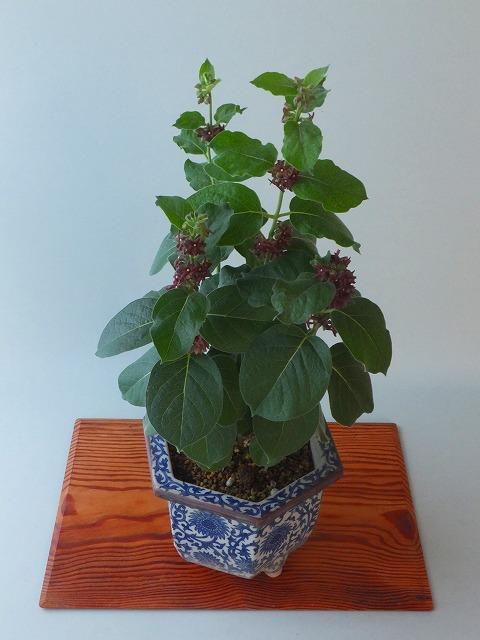 フナバラ草赤花H306月