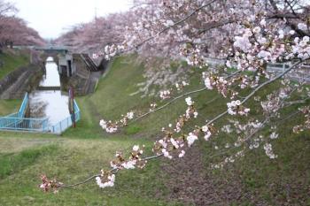 ARAYASAKURA2018042002.jpg
