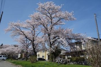 SAKURASAKURA2018042202.jpg