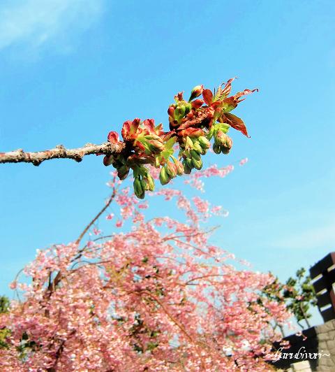 御衣黄桜1