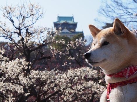 大阪城と梅とさくら