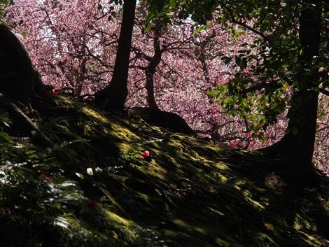 梅と椿と苔♪