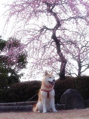 枝垂れ梅とさくら