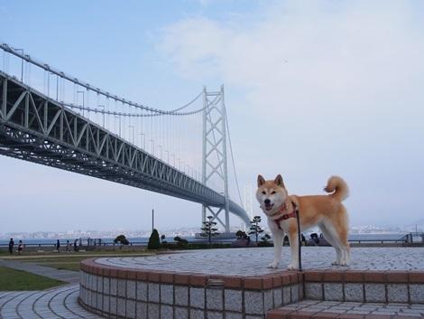 明石海峡大橋とさくら