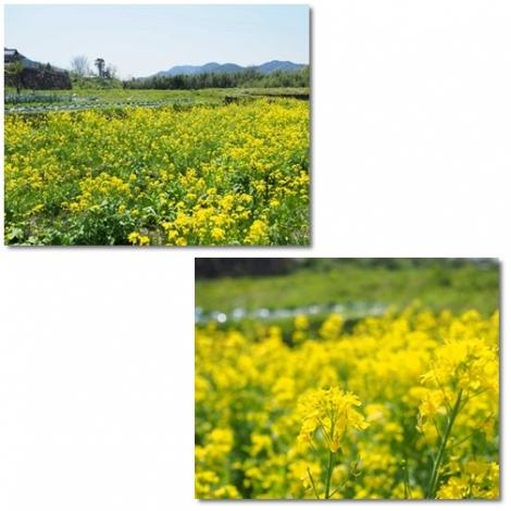 大原野菜の花