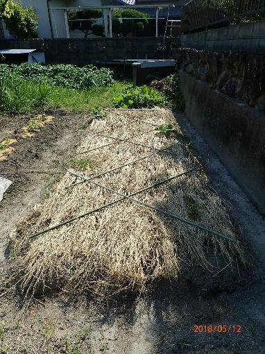 カボチャに敷き藁