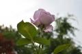ブルームーン二番咲き30