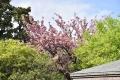 八重桜30