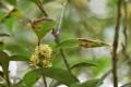 月桂樹の花30