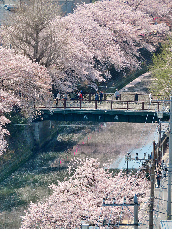 180330,大岡川桜1