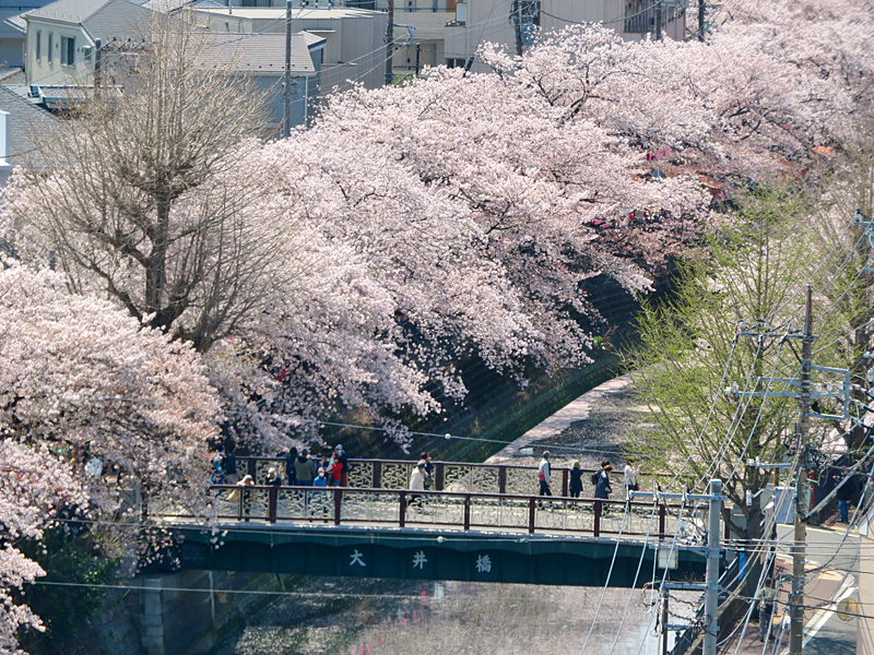 180330,大岡川桜2