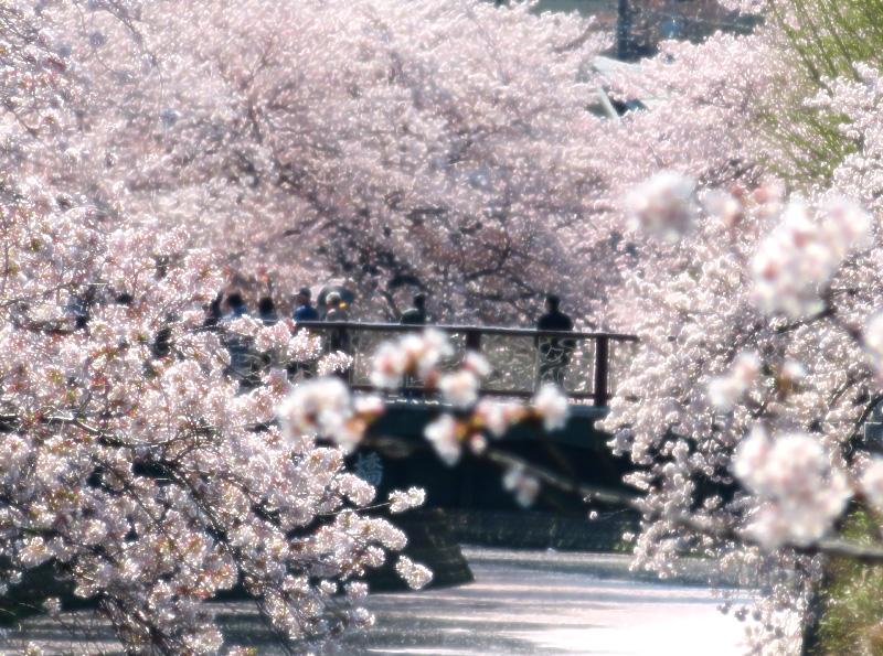 180330,大岡川桜3