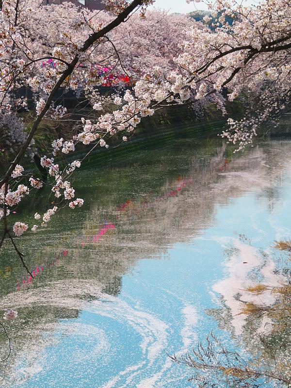 180330,大岡川桜4