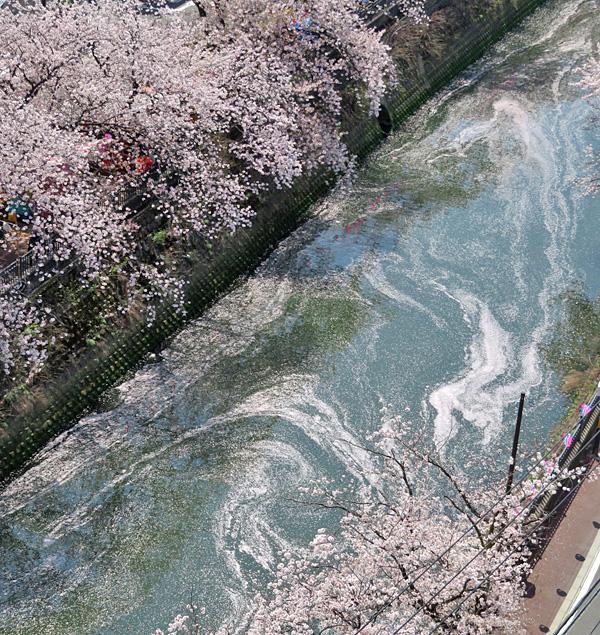 180330,大岡川桜5