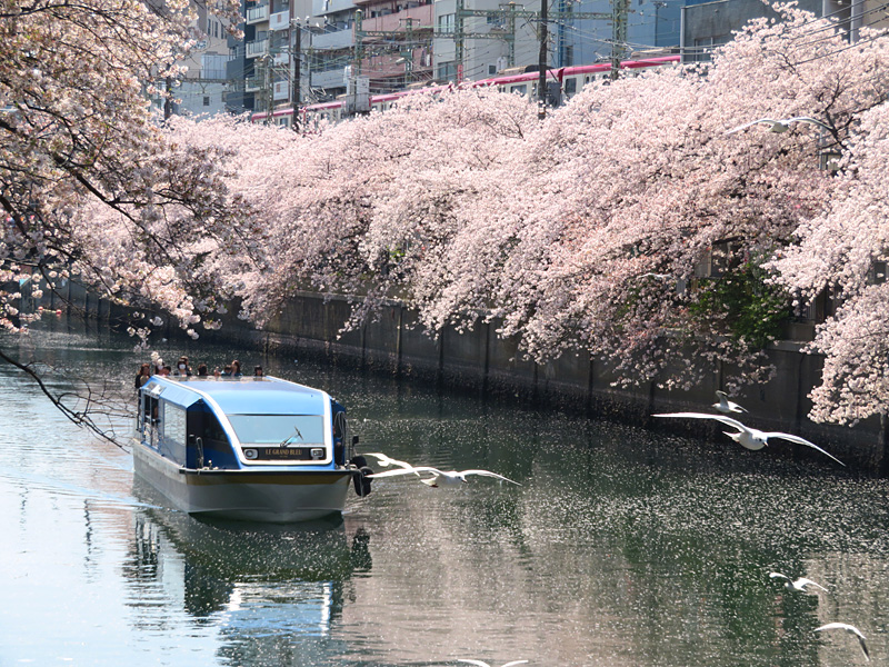 180331,大岡川桜カモメ1