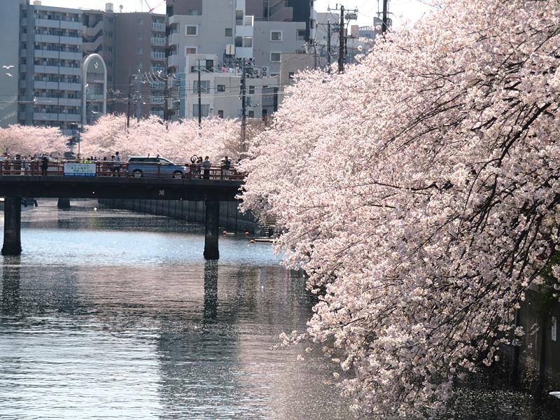 180331,大岡川桜カモメ2
