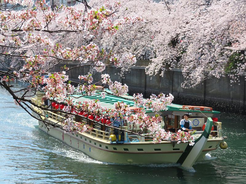 180331,大岡川桜カモメ3