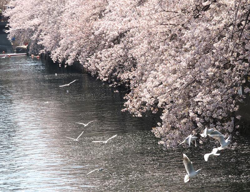 180331,大岡川桜カモメ4