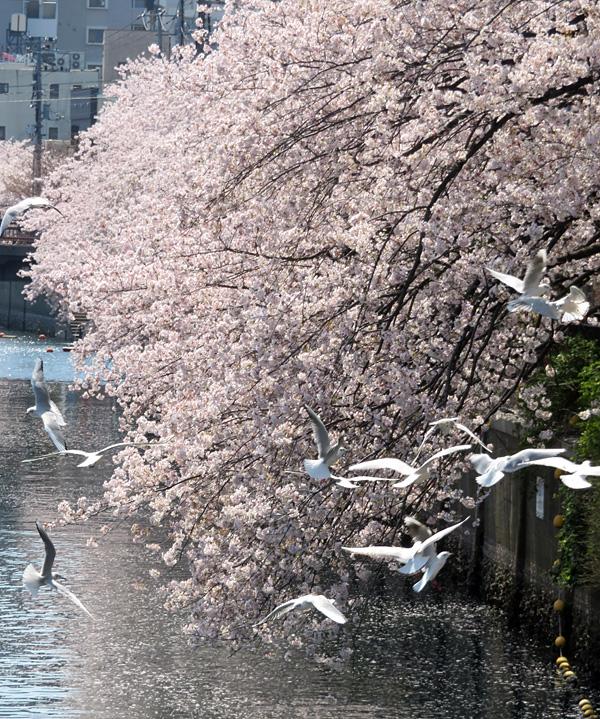 180331,大岡川桜カモメ5