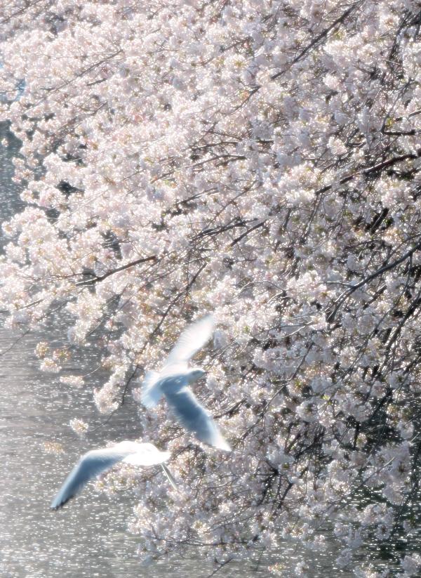 180331,大岡川桜カモメ6