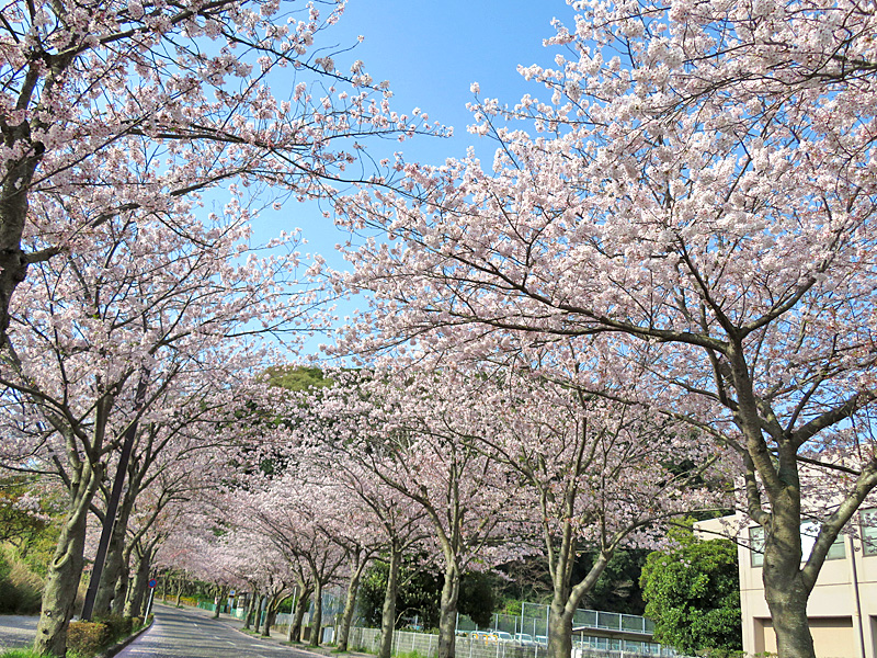 180401,花の国アプローチ桜3