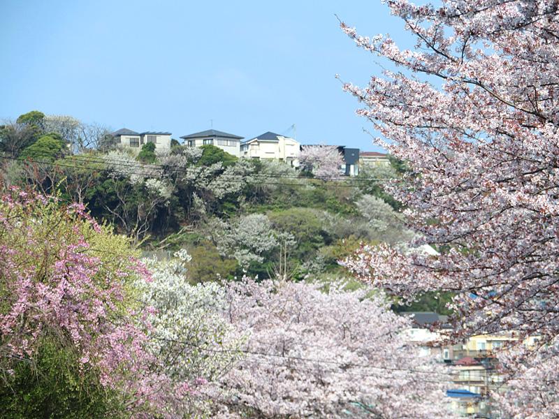180401,花の国アプローチ桜4
