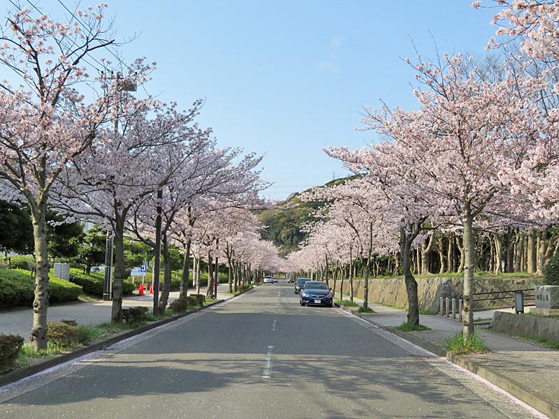 180401,花の国アプローチ桜2