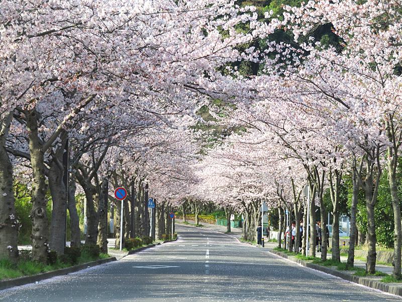 180401,花の国アプローチ桜1