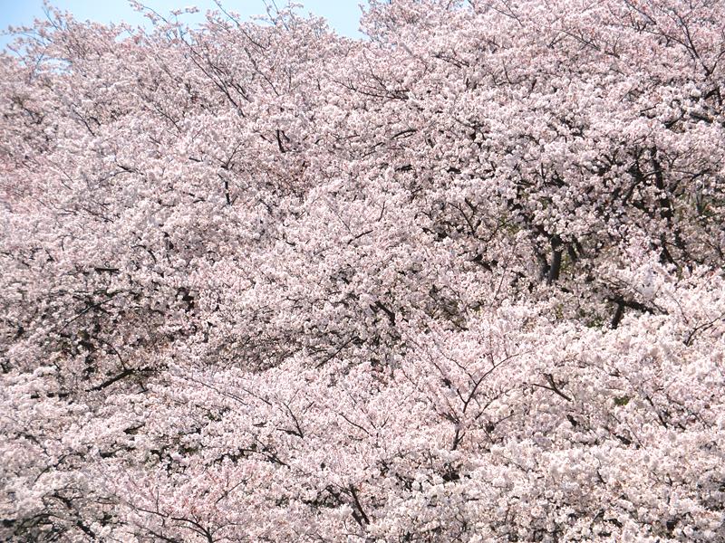 180401,根岸森林公園の桜5