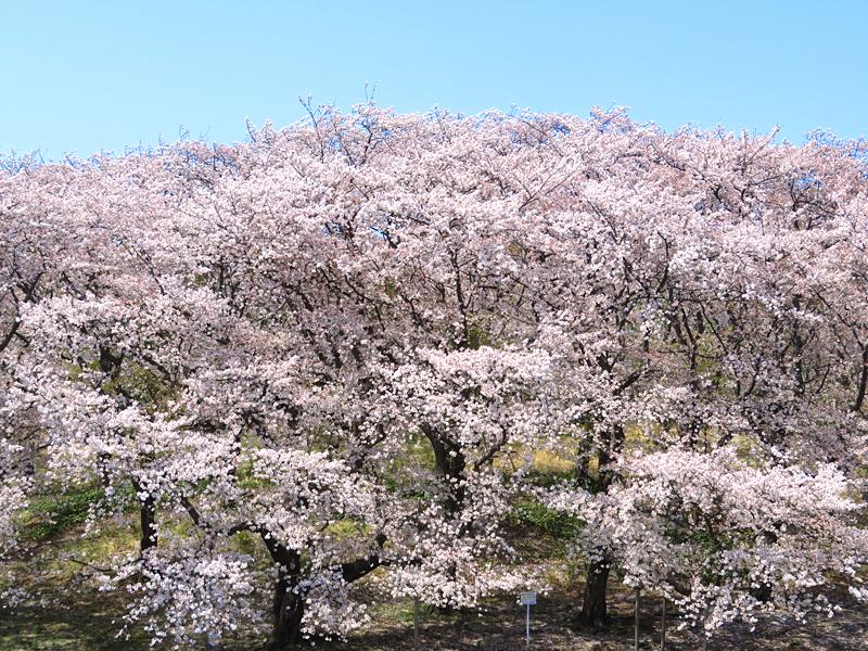 180401,根岸森林公園の桜4