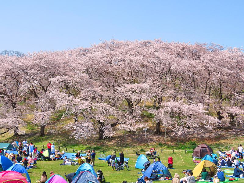 180401,根岸森林公園の桜3