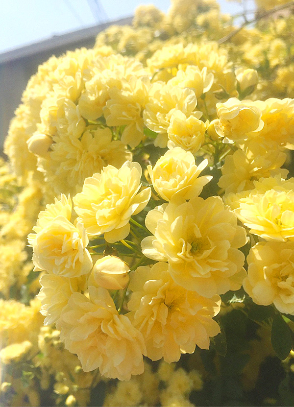 180413,木香薔薇-