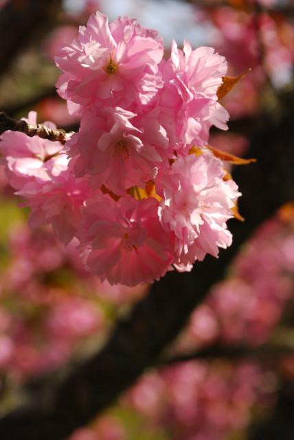 水分れ公園_桜