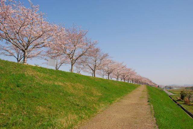 小野桜づつみ回廊_桜