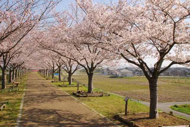 おの桜づつみ回廊_小野桜づつみ回廊