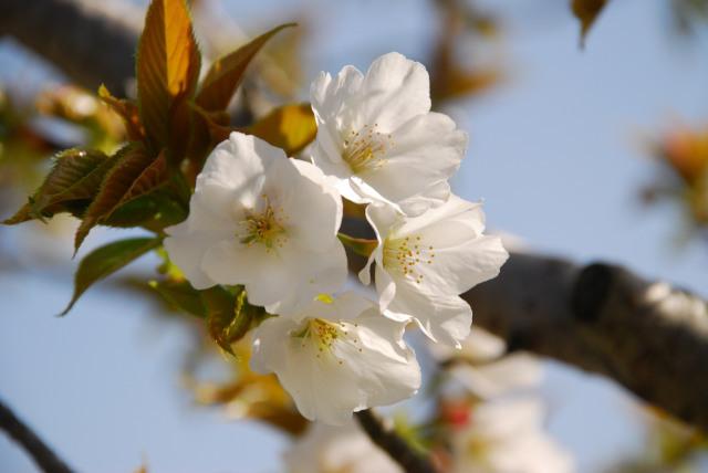 おの桜づつみ回廊_オオシマサクラ
