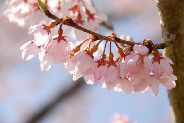 おの桜づつみ回廊_エドヒガン